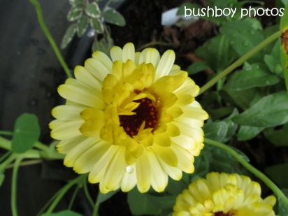 calendula_binna burra_named_oct 2014
