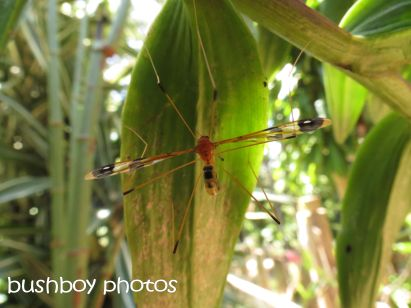 crane fly_binna burra_named_oct 2014