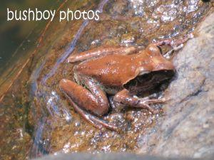 Eastern Stoney Creek Frog_home_named_sept 2014