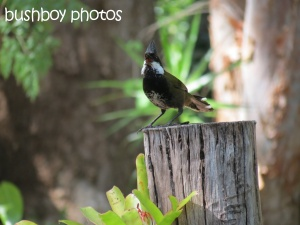eastern whipbird_binna burra_named_oct 2014