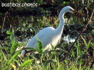 egret_lismore lake_named_oct 2014
