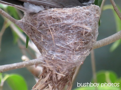 fantail nest_binna burra_named_oct 2014