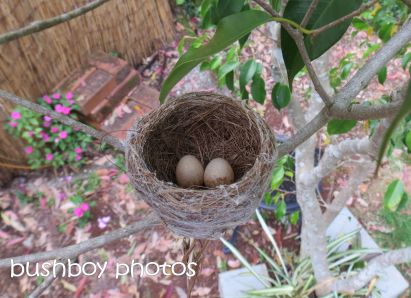 fantail nest_eggs_binna burra_named_oct 2014