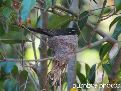 fantail02_nest_binna burra_named_oct 2014