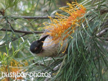 friar bird01_home_named_oct 2014