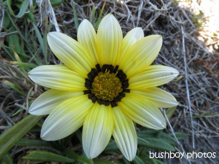 gazania01_brooms head_named_oct 2014