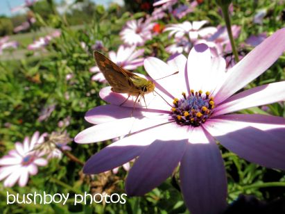 gazania_butterfly_tucabia_named_oct 2014