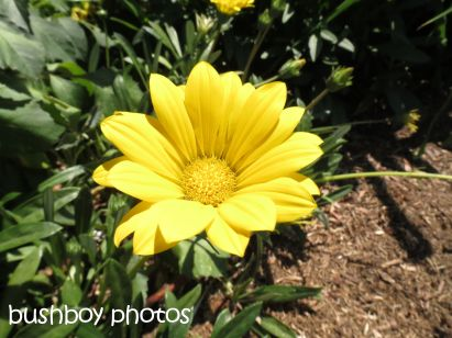 gazania_yellow01_tucabia_named_oct 2014