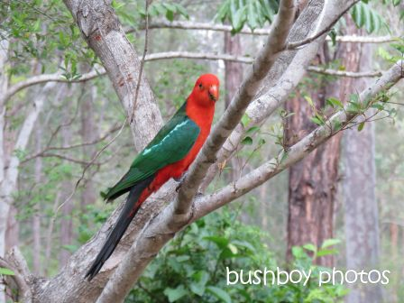 king parrot01_named_home_oct 2014
