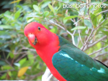 king parrot_named_home_oct 2014