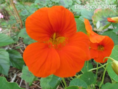 nasturtium_orange _close_binna burra_named_oct 2014
