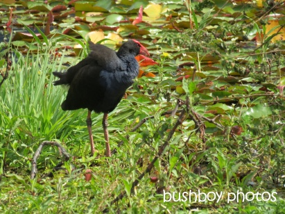 purple swamphen_clarrie hall dam_named_oct 2014