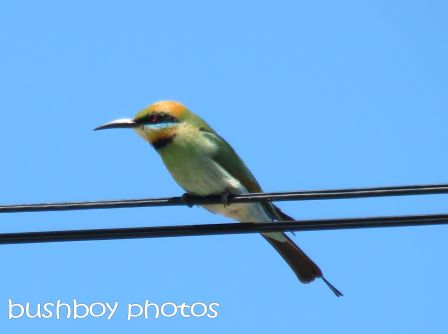 rainbow bee eater_brooms head_named_oct 2014