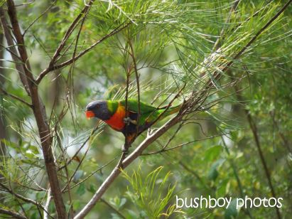 rainbow lorikeet_home_named_oct 2014