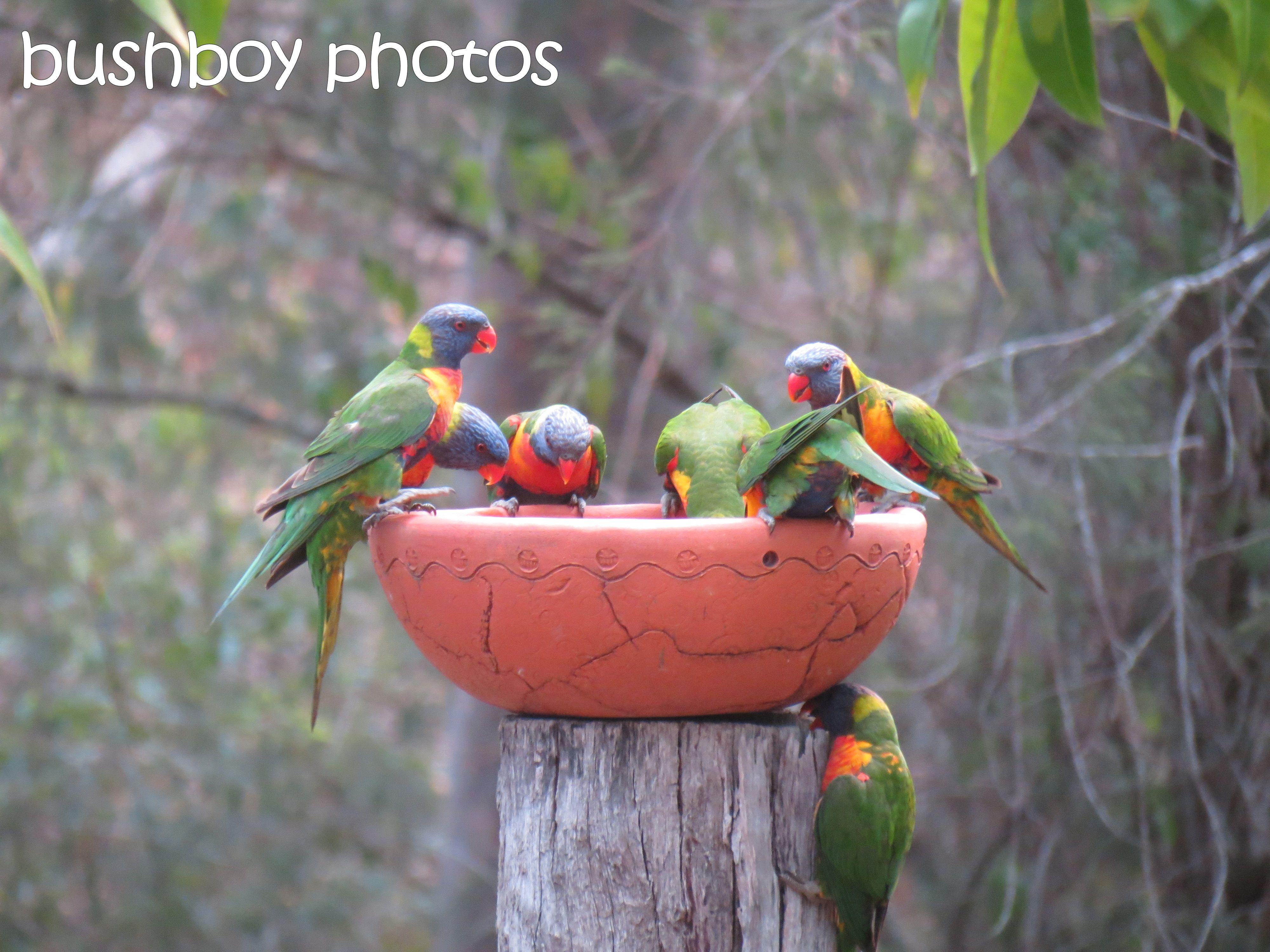 rainbow lorikeets01_bird bath_home_named_oct 2014