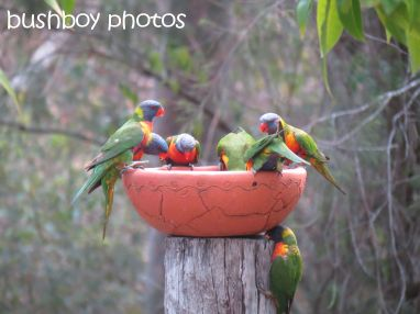 rainbow lorikeets01_bird bath_home_named_oct 2014