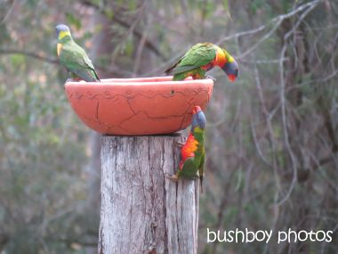 rainbow lorikeets02_bird bath_home_named_oct 2014