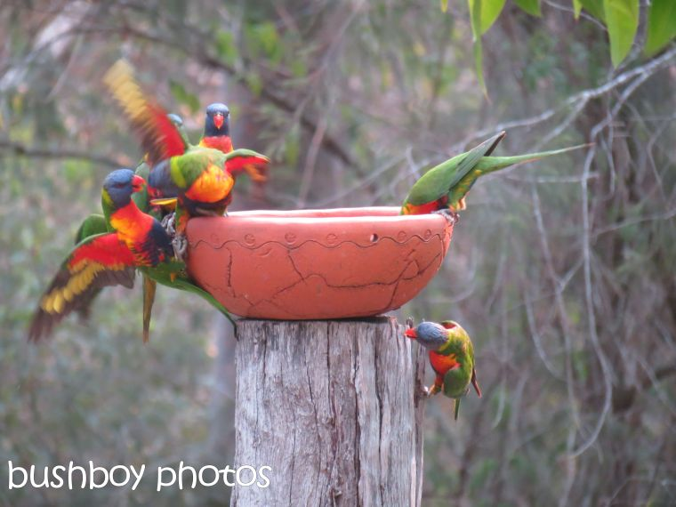 rainbow lorikeets03_bird bath_home_named_oct 2014