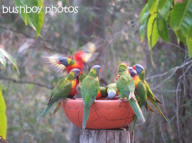 rainbow lorikeets04_bird bath_home_named_oct 2014