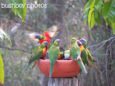 rainbow lorikeets04_bird bath_home_named_oct 2014