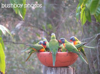 rainbow lorikeets05_bird bath_home_named_oct 2014