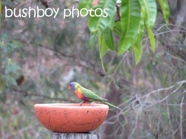 rainbow lorikeets07_bird bath_home_named_oct 2014