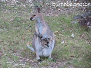 red necked wallaby01_joey_home_named_oct 2014
