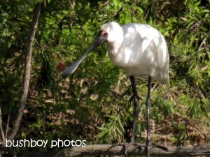 royal spoonbill_junction hill_named_sept 2014