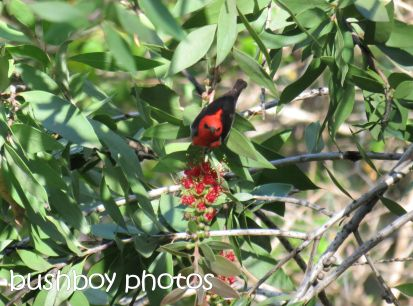 scarlet honeyeater_home_named_oct 2014