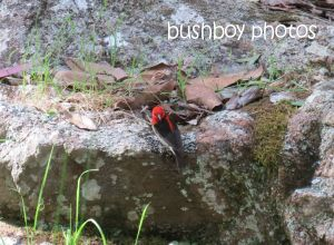 scarlet honeyeater_home_named_sept 2014