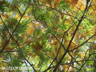 silky oak_binna burra_named_oct 2014