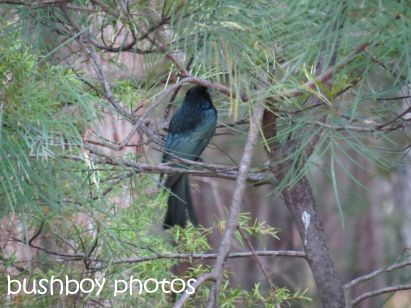 spangled drongo_home_named_oct 2014