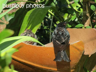 spangled drongo_wattlebird_binna burra_named_oct 2014