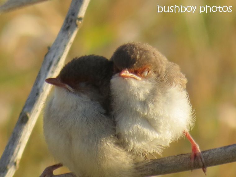 superb fairy wren_chicks_lismore lake_named_oct 2014