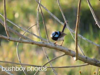 superb fairy wren_lismore lake_named_oct 2014