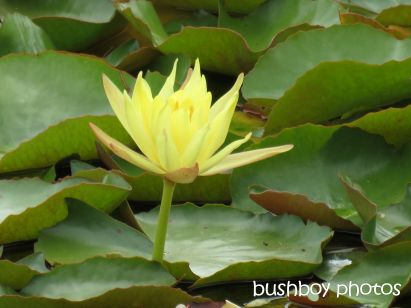 water lily02_yellow_clarrie hall dam_named_oct  2014