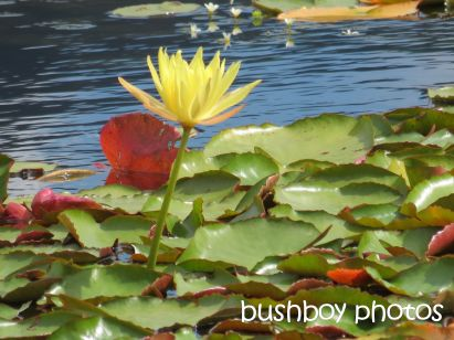 water lily_yellow_clarrie hall dam_named_oct 2014