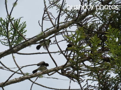 willie wagtails01_clarrie hall dam_named_oct 2014