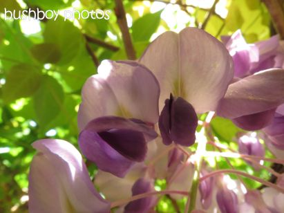wisteria_binna burra_named_oct 2014