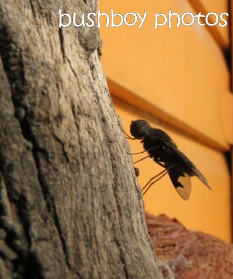 bee fly_home_named_cropped_nov 2014