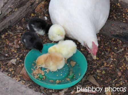 chickens01_hen_named_home_nov 2014