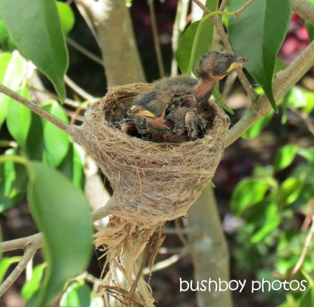 fantail young01_nest_binna burra_named_small_nov 2014
