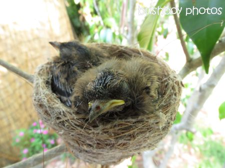 fantail young02_nest_binna burra_named_nov 2014