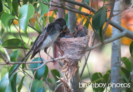 fantail young03_nest_feeding_binna burra_named_nov 2014