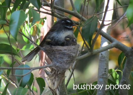 fantail young04_nest_binna burra_named_small_nov 2014