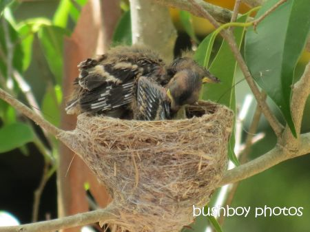 fantail young05_nest_binna burra_named_nov 2014