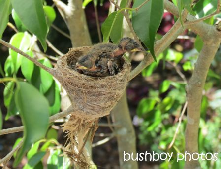 fantail young06_nest_binna burra_named_nov 2014