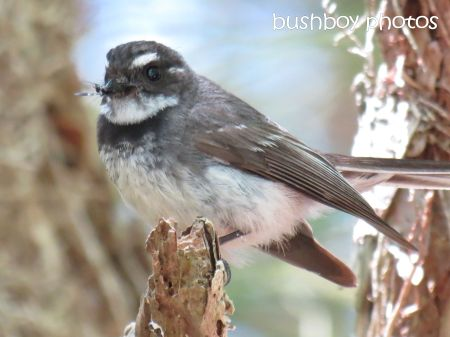 fantail01_food_binna burra_named_nov 2014