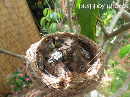 fantail07_young_nest_named_binna burra_nov 2014