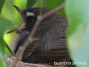 fantail_mouth open_named_binna burra_nov 2014